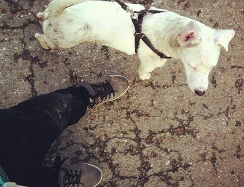 Ne verujte Farmi, džek rasel terijer nije pas za vas