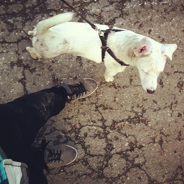 Jedna obična šetnja sa džek rasel terijerom